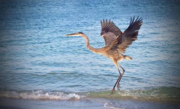 Atlantic Poster featuring the photograph Heron Boca Grande Florida by Fizzy Image