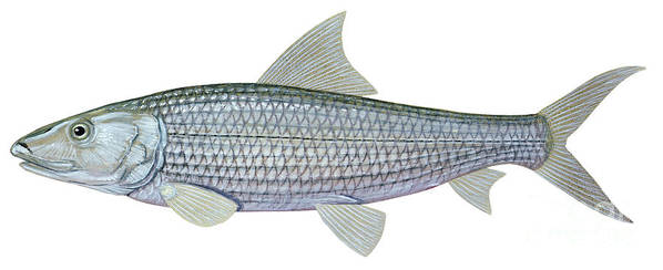 Side View Poster featuring the digital art Illustration Of A Bonefish Albula by Carlyn Iverson