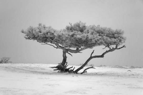 Tree Poster featuring the photograph Infrared Photo Of Pine In Winter Landscape In The Nature Dwingelderveld In The Netherlands by Ronald Jansen