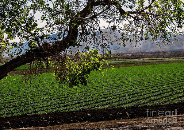 Winter Lettuce Poster featuring the photograph Panoramic Of Winter Lettuce by Robert Bales