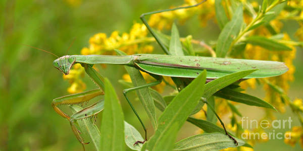 Insect Poster featuring the photograph Praying Mantis In September by Anna Lisa Yoder