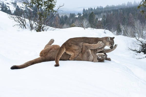 Cougar Poster featuring the photograph Winter Playground by Sandra Bronstein
