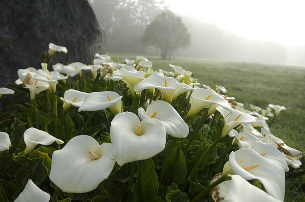 Beauty In Nature Poster featuring the photograph Calla Lilies Zantedeschia Aethiopica by Keenpress