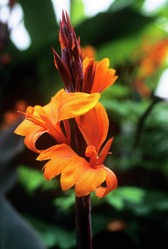 'roi Humbert' Poster featuring the photograph Canna Lily 'roi Humbert' by Adrian Thomas