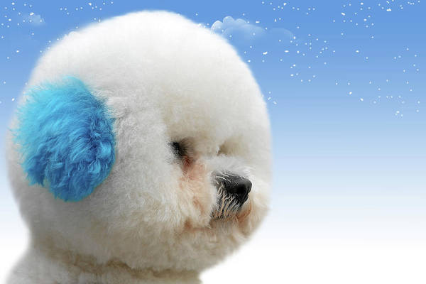 Bichon Frises Poster featuring the photograph China's Latest Craze - Dyeing Pets by Christine Till