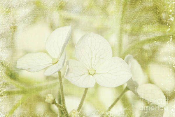 Aroma Poster featuring the photograph Closeup Of Hydrangea Flowers With Vintage Background by Sandra Cunningham