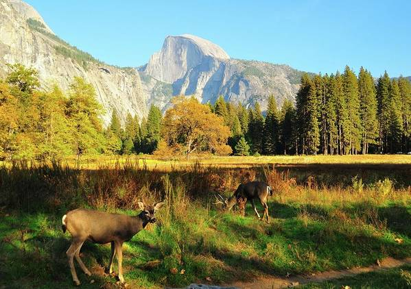 Horizontal Poster featuring the photograph Deer And Half Dome by Sandy L. Kirkner