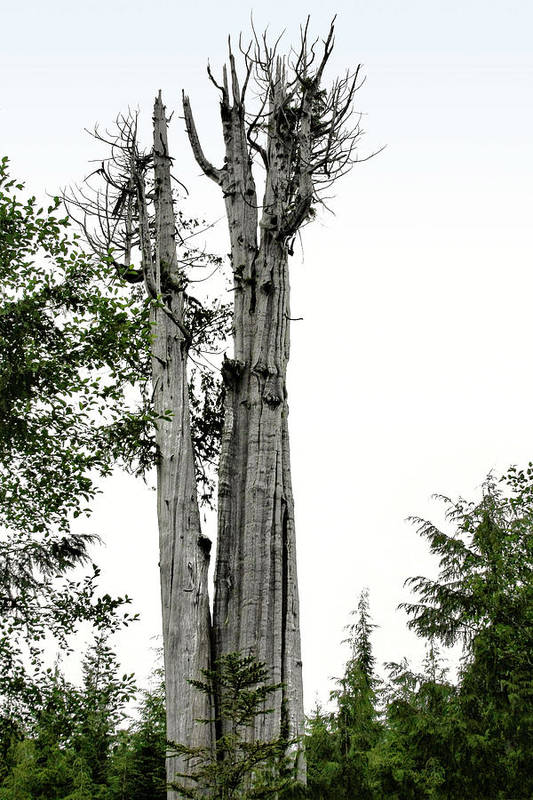 Thuja Plicata Poster featuring the photograph Duncan Memorial Big Cedar Tree - Olympic National Park Wa by Christine Till