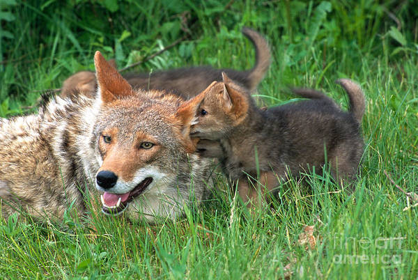 Coyote Poster featuring the photograph I've Got A Secret by Sandra Bronstein