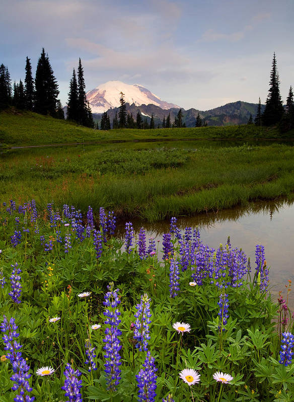 Rainier Poster featuring the photograph Lupine Sunrise by Mike Dawson