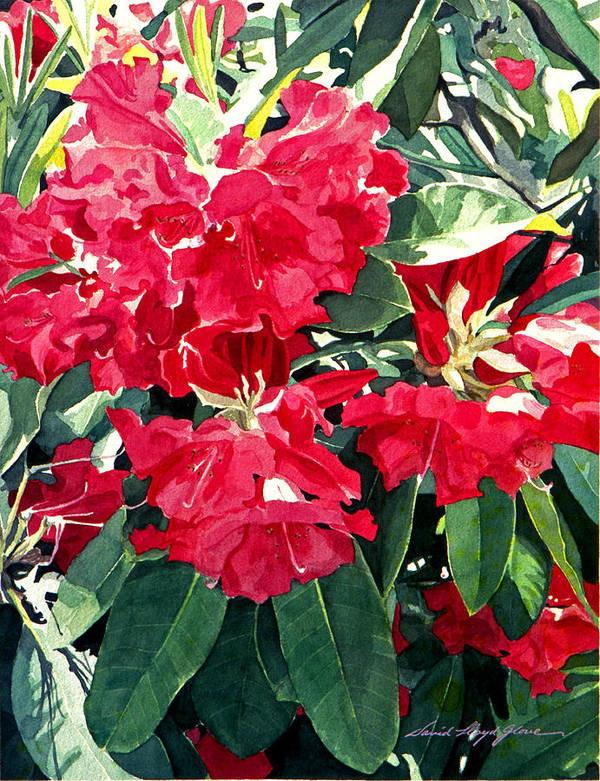 Rhododendrons Poster featuring the painting Red Rhododendrons Of Dundarave by David Lloyd Glover