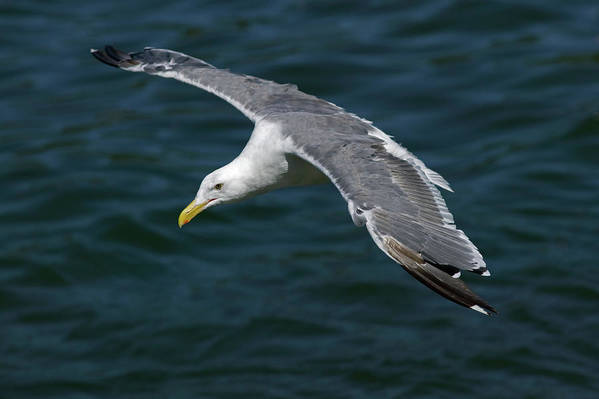 Animal Poster featuring the photograph Seagull In Flight by Randall Ingalls