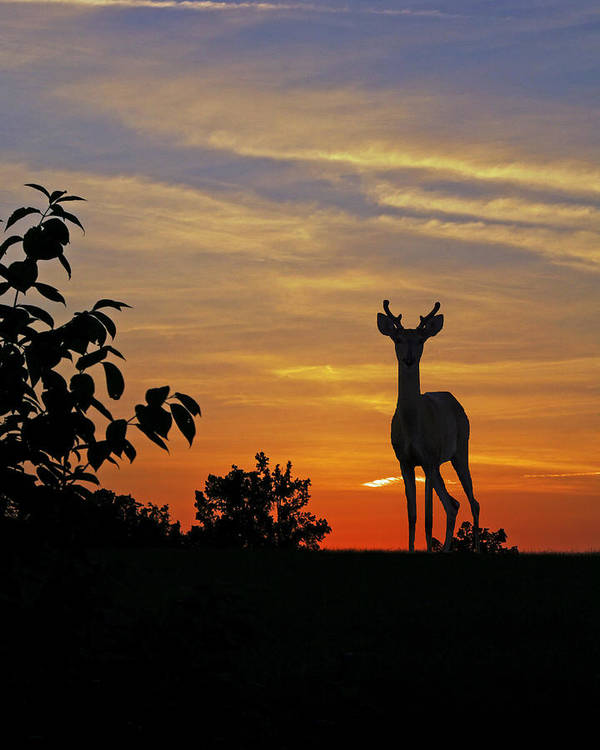 Whitetial Deer Poster featuring the digital art Small Buck Against Sunset by Ron Kruger