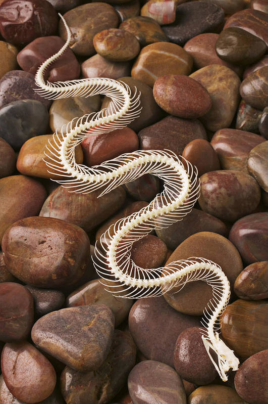 Snake Poster featuring the photograph Snake Skeleton by Garry Gay