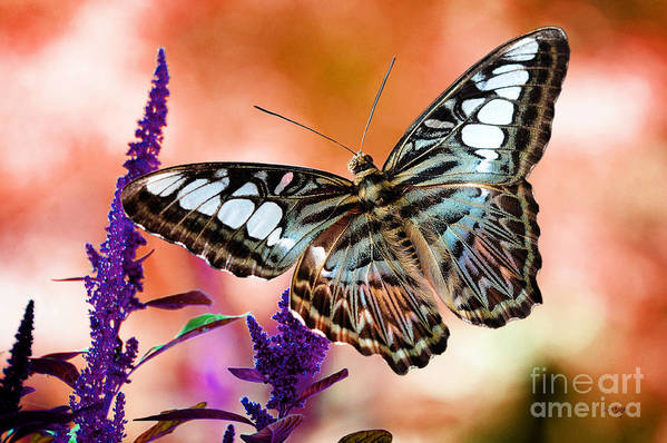 Butterflies Poster featuring the photograph The Blue Clipper by Lois Bryan