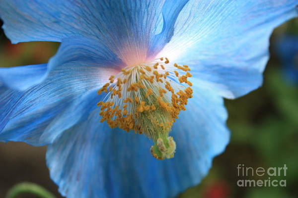 Blue Poster featuring the photograph Translucent Blue Poppy by Carol Groenen