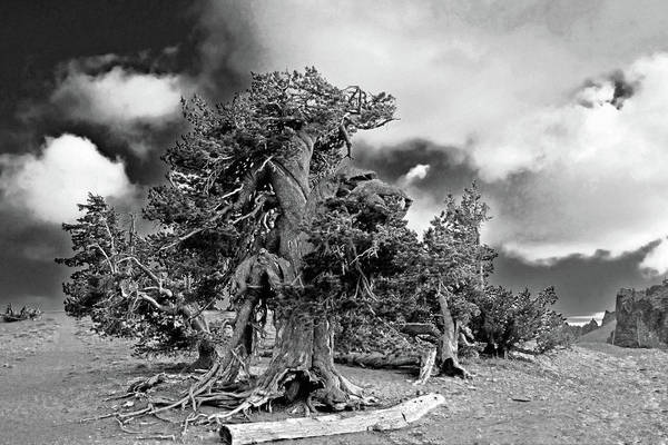 Bristlecone Pine Trees Poster featuring the photograph Twisted Old Bristlecone Pine Above Crater Lake - Oregon by Christine Till