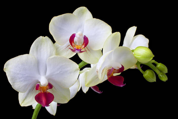 White Orchids Poster featuring the photograph White Orchids by Garry Gay
