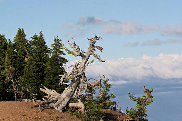 Pines Poster featuring the photograph Whitebark Pine At Crater Lake's Rim - Oregon by Christine Till