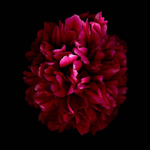 Scanography Photographs Art Print featuring the photograph Blood Red Peony by Deborah J Humphries