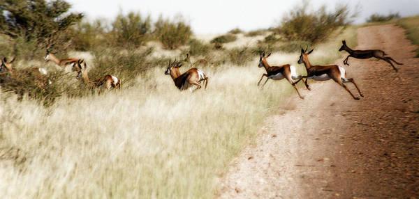 Springbok Art Print featuring the photograph Springbok Running by Samantha Anne Hutchinson