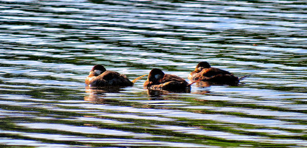 Ducks Art Print featuring the photograph Tired Trio by Art Dingo