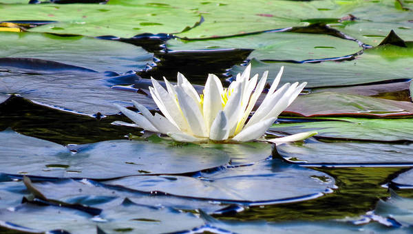 Lake Art Print featuring the photograph Single White Lotus by Art Dingo