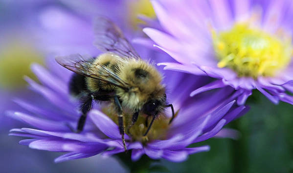 New England Art Print featuring the photograph Bumble Bee And Fall Aster by Thomas J Martin
