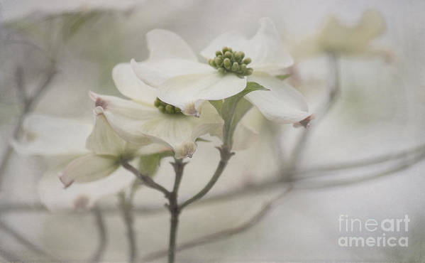 Dogwood Art Print featuring the photograph Soft Texture Of Spring by Arlene Carmel