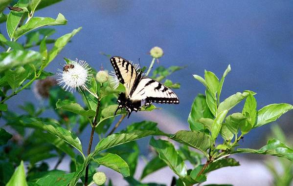 Butterfly Art Print featuring the photograph 080706-7 by Mike Davis