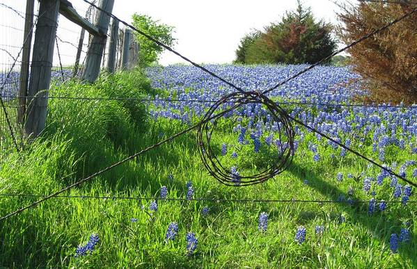 Bluebonnets Art Print featuring the photograph Ennis Tx Bluebonnet Trails by Mike Witte