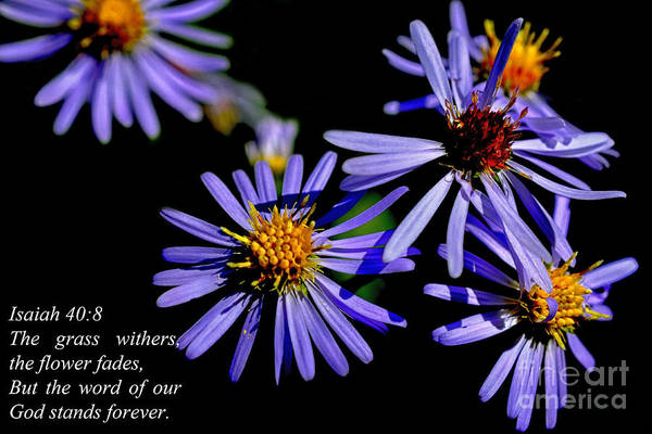 Bushy Aster Art Print featuring the photograph The Flower Fades by Thomas R Fletcher