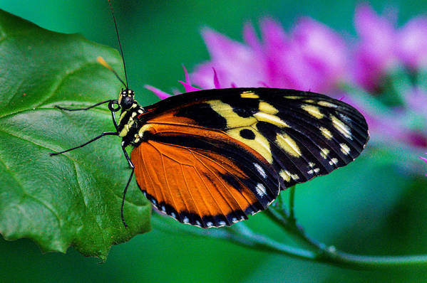 Butterfly Art Print featuring the photograph A Splash Of Colour by Garvin Hunter