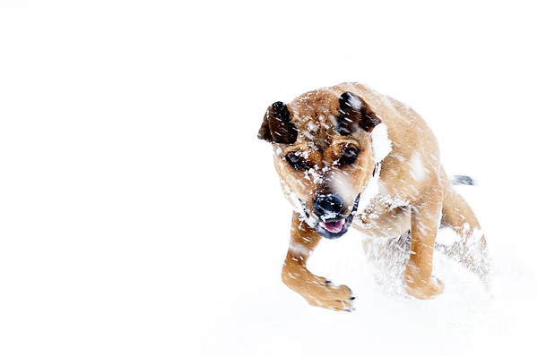 Boxweiler Art Print featuring the photograph Bounding In Snow by Thomas R Fletcher