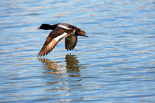 Duck Art Print featuring the photograph Greater Scaup In Flight by Roy Williams