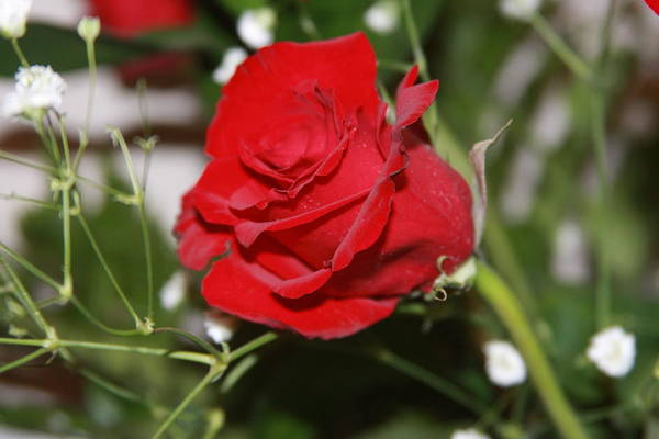 Rose Art Print featuring the photograph Rose by Christine Romer