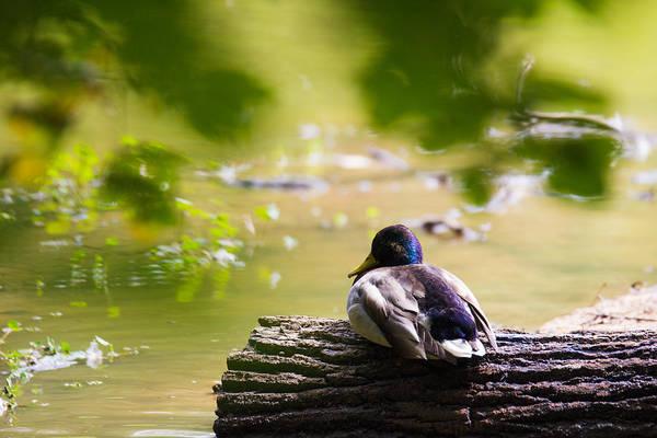 Sitting Art Print featuring the photograph Sitting Duck by Sammuel Hernandez