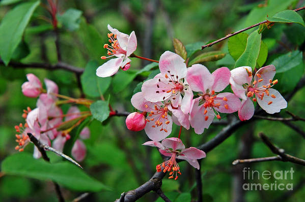 Crab Apple Blossom Art Print featuring the photograph Spring Blossoms West Virginia by Thomas R Fletcher