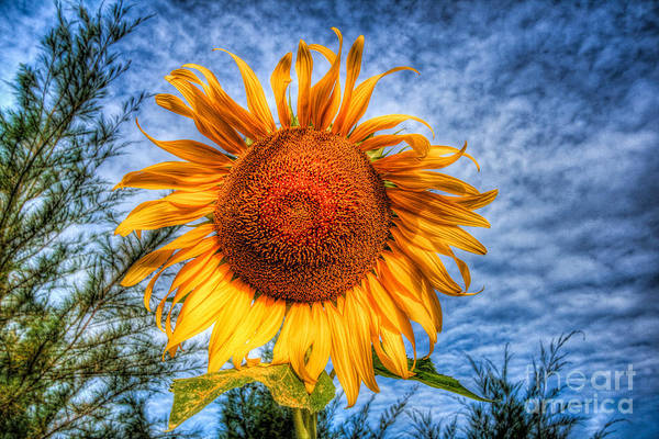 Hdr Print featuring the photograph Sun Flower by Adrian Evans