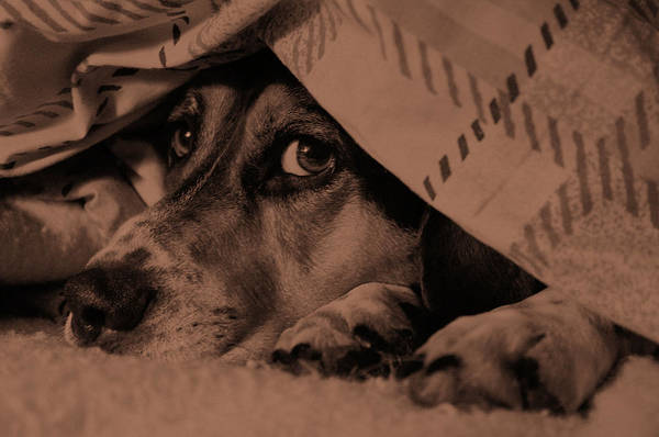 Dog Art Print featuring the photograph Undercover Hound by Paul Wash