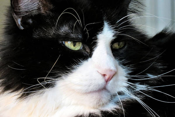 Cat Art Print featuring the photograph Maine Coon Face by Art Dingo