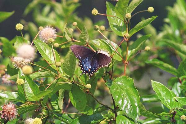 Butterfly Art Print featuring the photograph 080706-6 by Mike Davis
