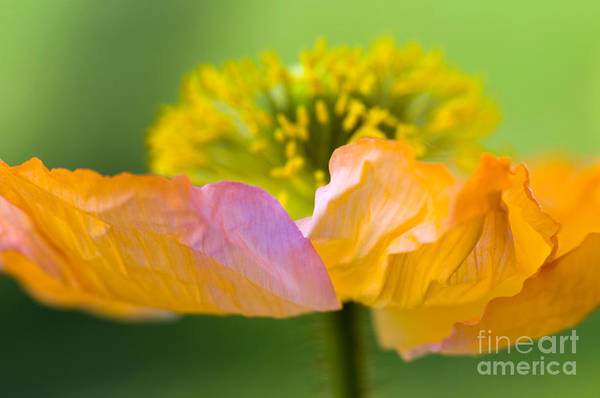 Flower Print featuring the photograph Iceland Poppy by Silke Magino