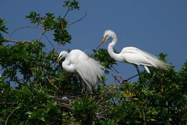Great White Egret Bird Feathers Animal Wildlife Florida Photograph Photography Art Print featuring the photograph A Helping Beak by Shari Jardina