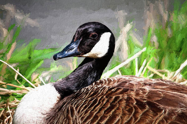 Goose Art Print featuring the photograph Canadian Goose by Tom Mc Nemar