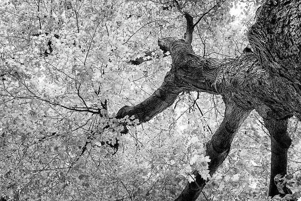 Abstract Art Print featuring the photograph Canopy Of Autumn Leaves In Black And White by Tom Mc Nemar