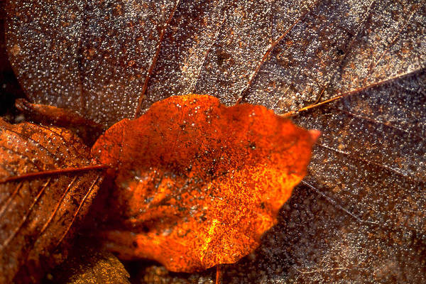 Leaf Art Print featuring the photograph Frozen Leaf by Michael Mogensen
