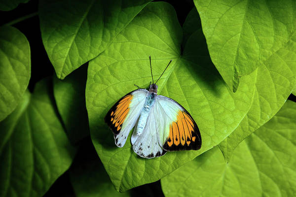 Giant Orange Tip Art Print featuring the photograph Giant Orange Tip Butterfly by Tom Mc Nemar