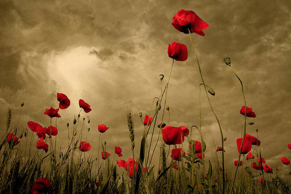 Poppies Art Print featuring the photograph Golden Summer Day by Floriana Barbu