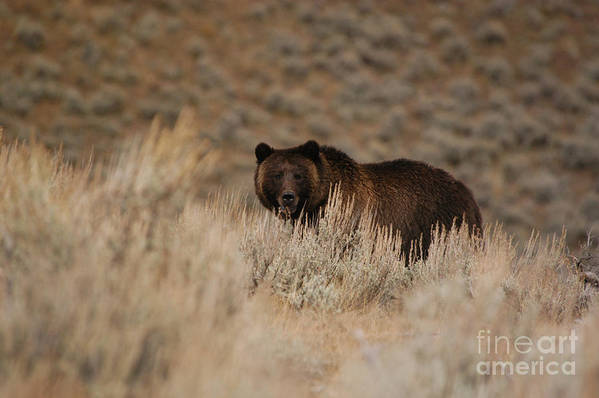 Bears Art Print featuring the photograph Grizzly Bear by Greg Payne